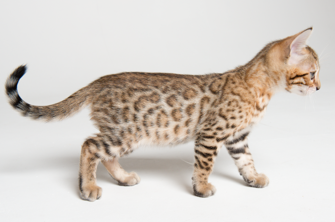 Bengal cats for adoption uk – Popular breeds of cats photo blog