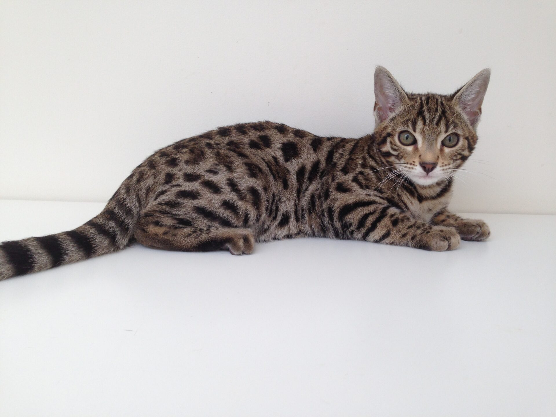 Hampstead Bengals – London – Pedigree Bengal Cat Breeders in London